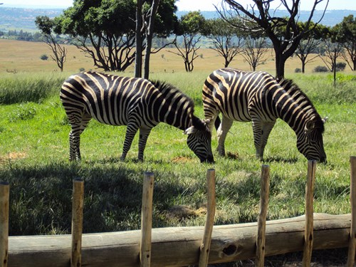 Zebra's at the Muldersdrift Lion Park